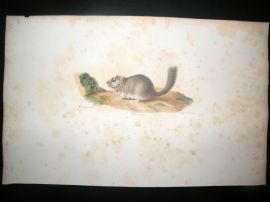 Saint Hilaire & Cuvier C1830 Folio Hand Colored Print. The Dormouse
